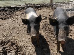 Cochons de la mini ferme